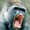 Contra el gorila.